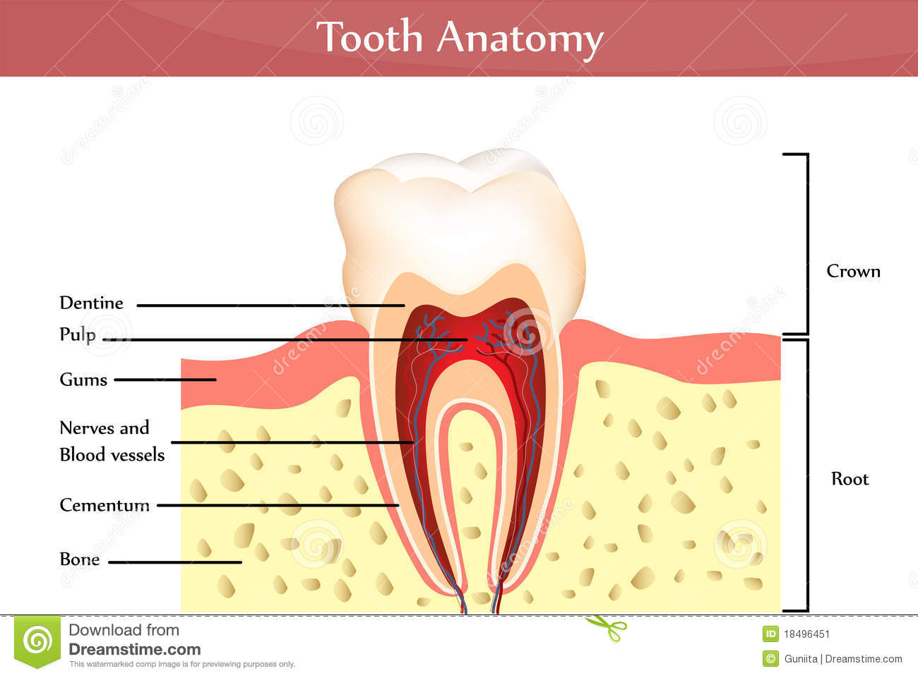 Tooth Anatomy Stock Vector Illustration Of Anatomy Hard 18496451