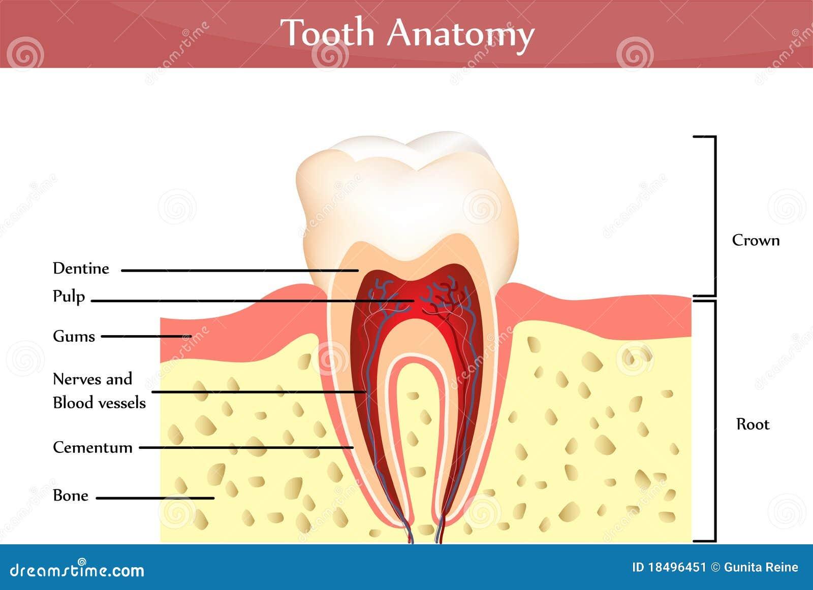 Tooth anatomy stock vector. Illustration of anatomy, hard - 18496451