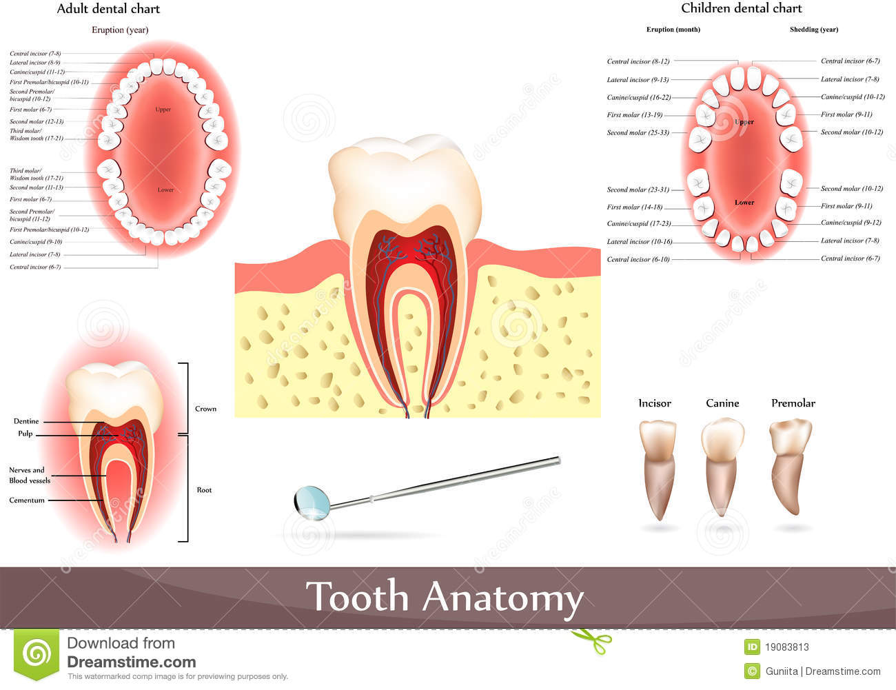 Tooth anatomy stock vector illustration of diagram ache 19083813 geenschuldenfo Image collections