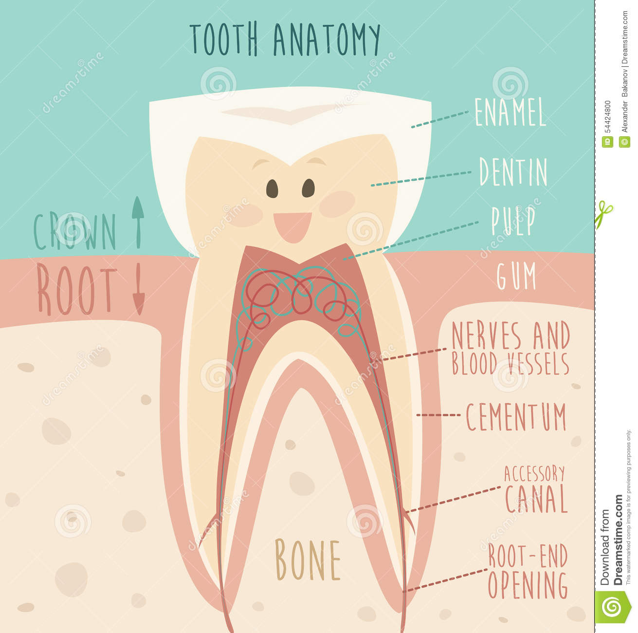 Tooth Anatomy, Funny Tooth (concept Of Healthy Teeth) Illustration ...