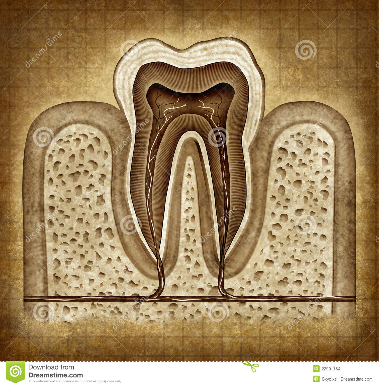 Tooth Anatomy In Grunge Texture