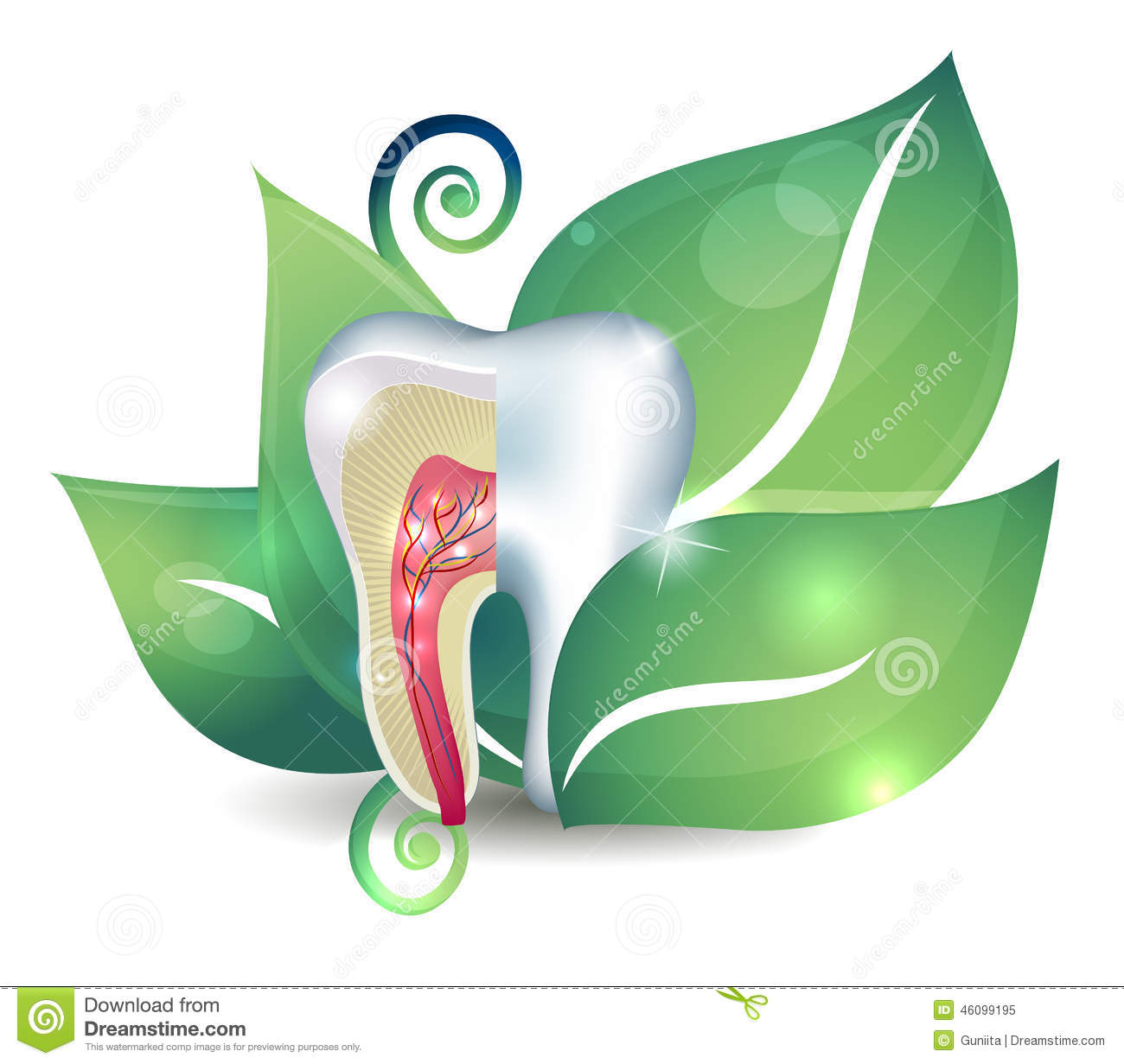Tooth anatomy and leaf stock vector. Illustration of dental - 46099195