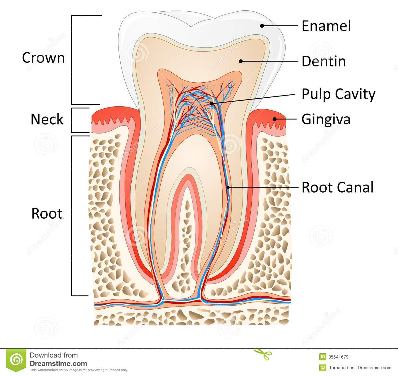 Tooth anatomy stock vector. Illustration of canal, bone - 35641679