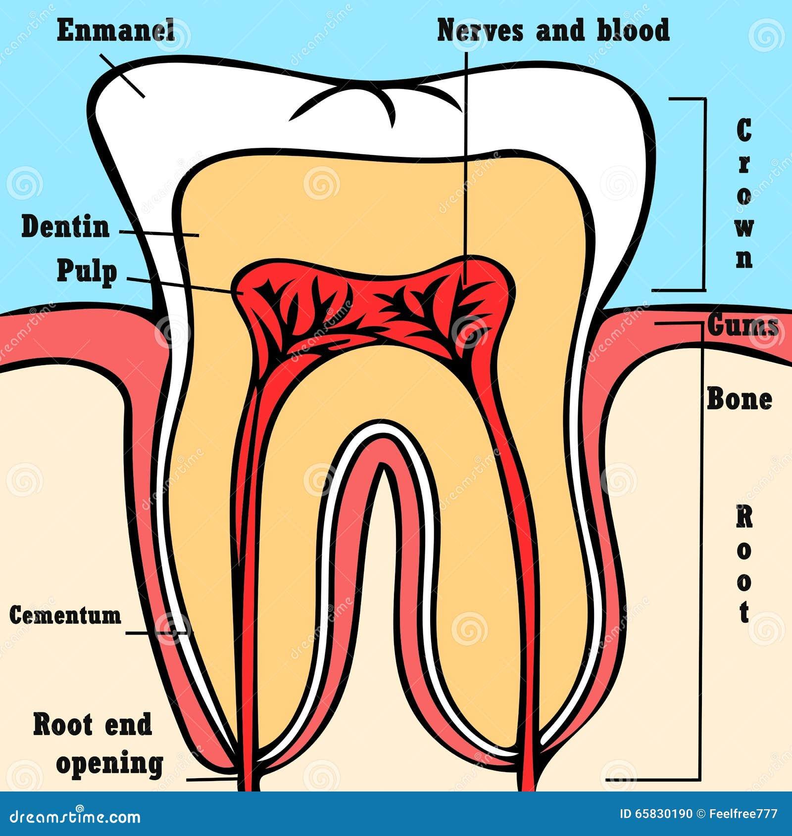 Tooth anatomy scheme stock illustration. Illustration of anatomy ...