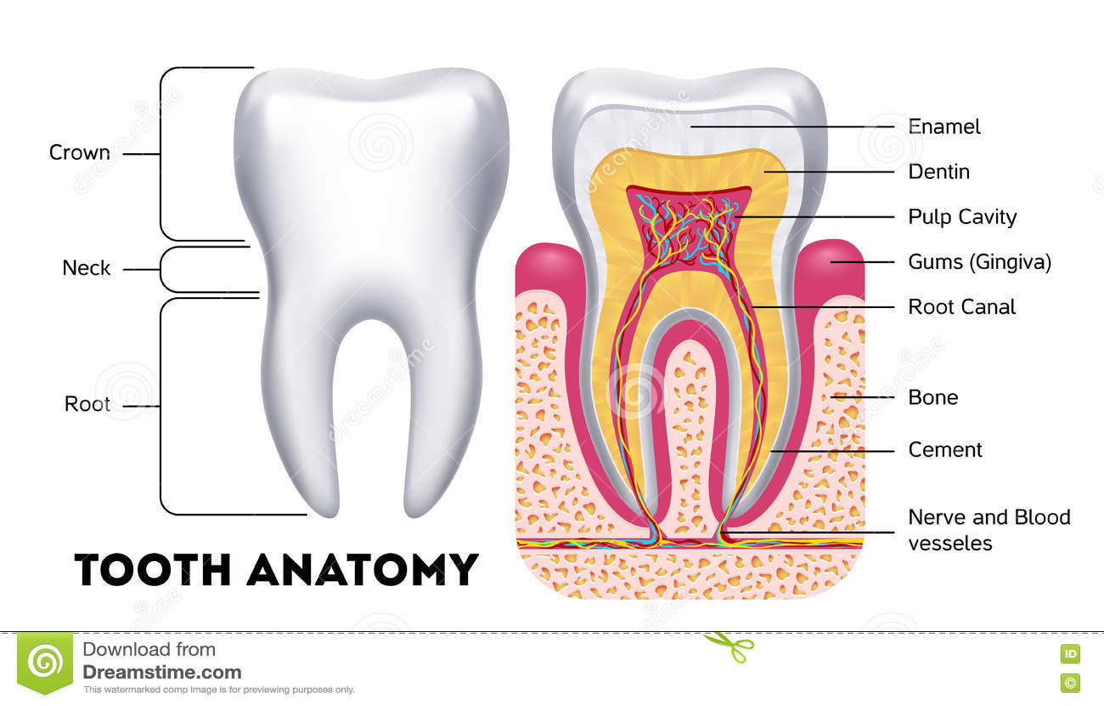 Tooth Anatomy Vector Dental Infographics Stock Vector - Illustration ...