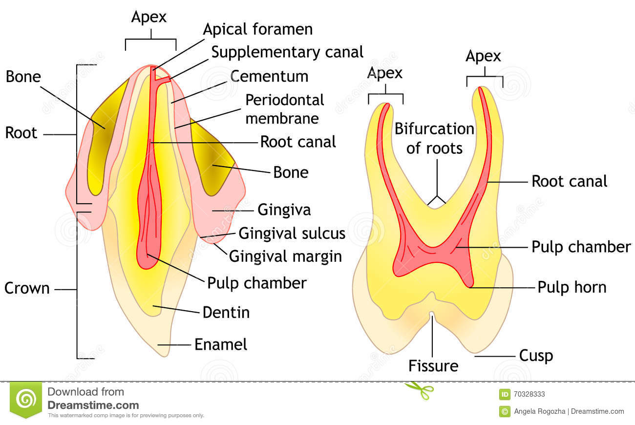 Tooth anatomy, vector stock vector. Illustration of vector - 70328333