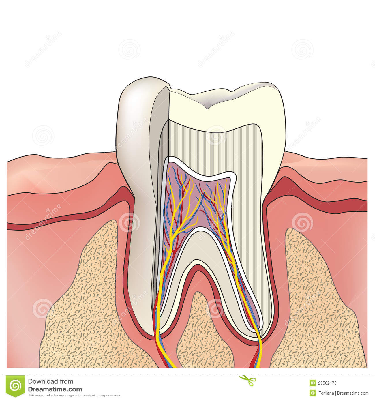 Tooth Anatomy. Vector Illustration. Stock Vector - Illustration of ...