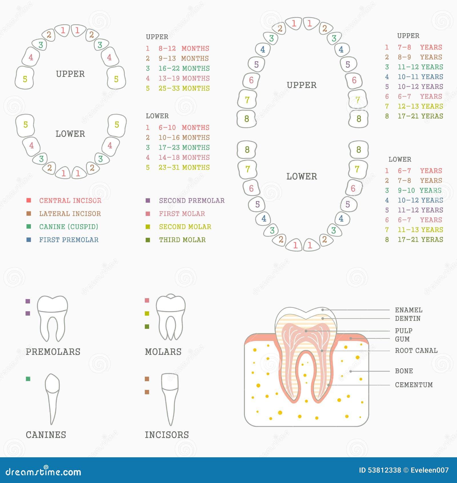 Tooth Chart Human Teeth Stock Vector Image 53812338