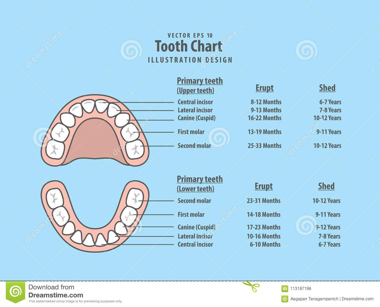 Tooth chart primary teeth with erupt shed illustration vector download comp ccuart Images
