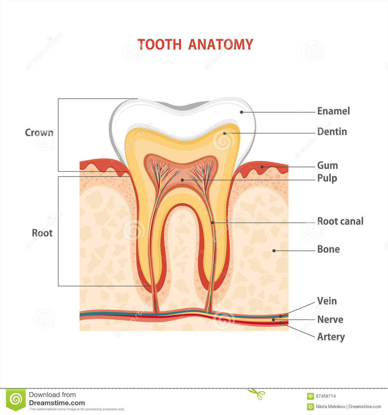 Tooth Stock Vector Illustration Of Gingiva Dentin Cavity 67459714