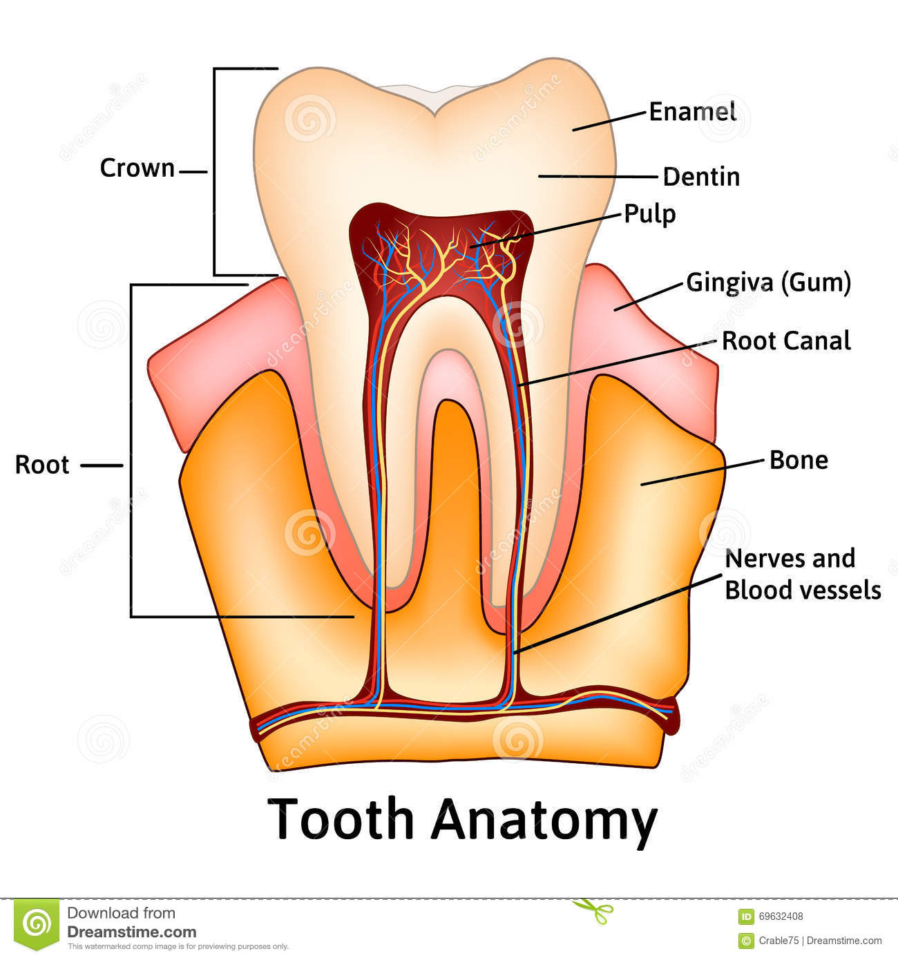 Tooth Medical Anatomy With Words Stock Vector - Illustration of bone ...