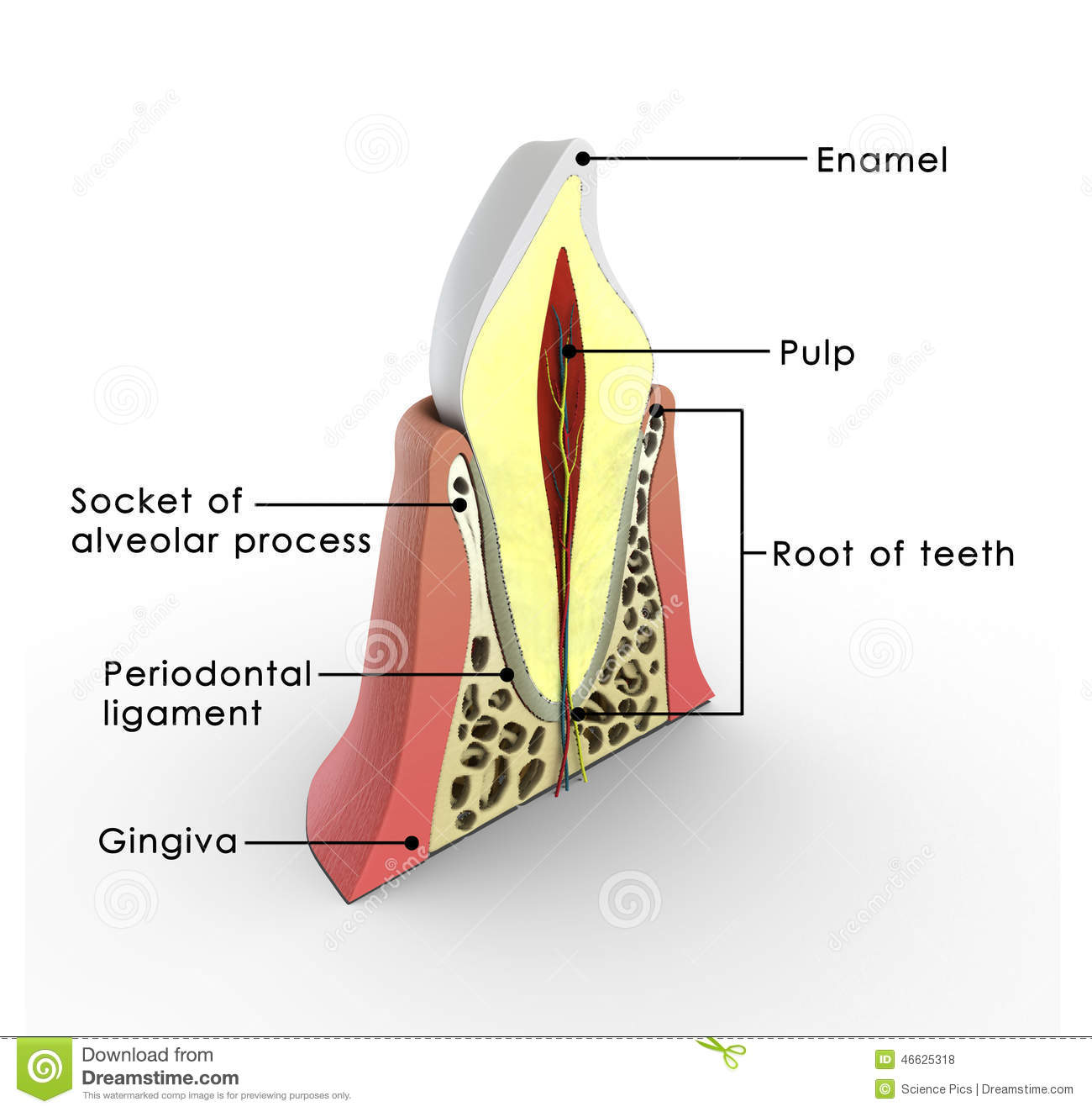 Tooth structure stock illustration. Illustration of anatomy - 46625318
