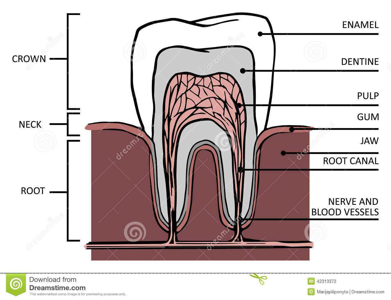 tooth structure  anatomy of teeth, with names of components