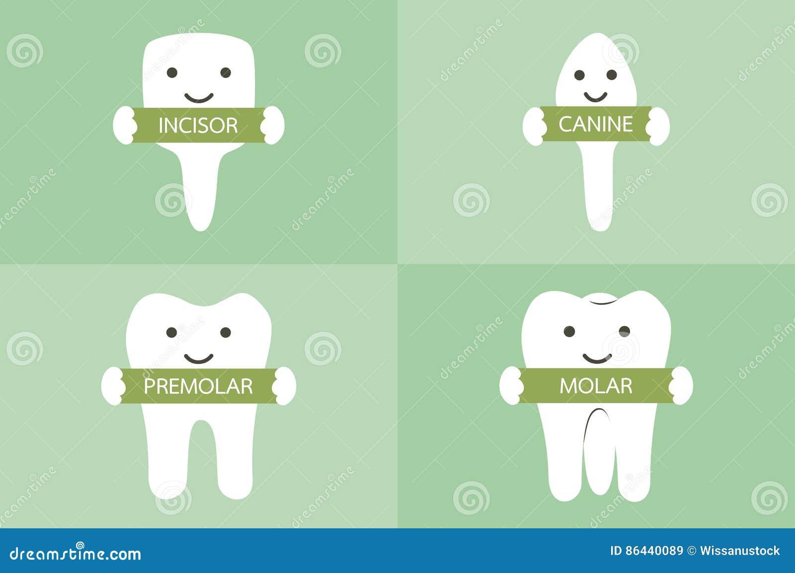 Tooth type - incisor, canine, premolar, molar