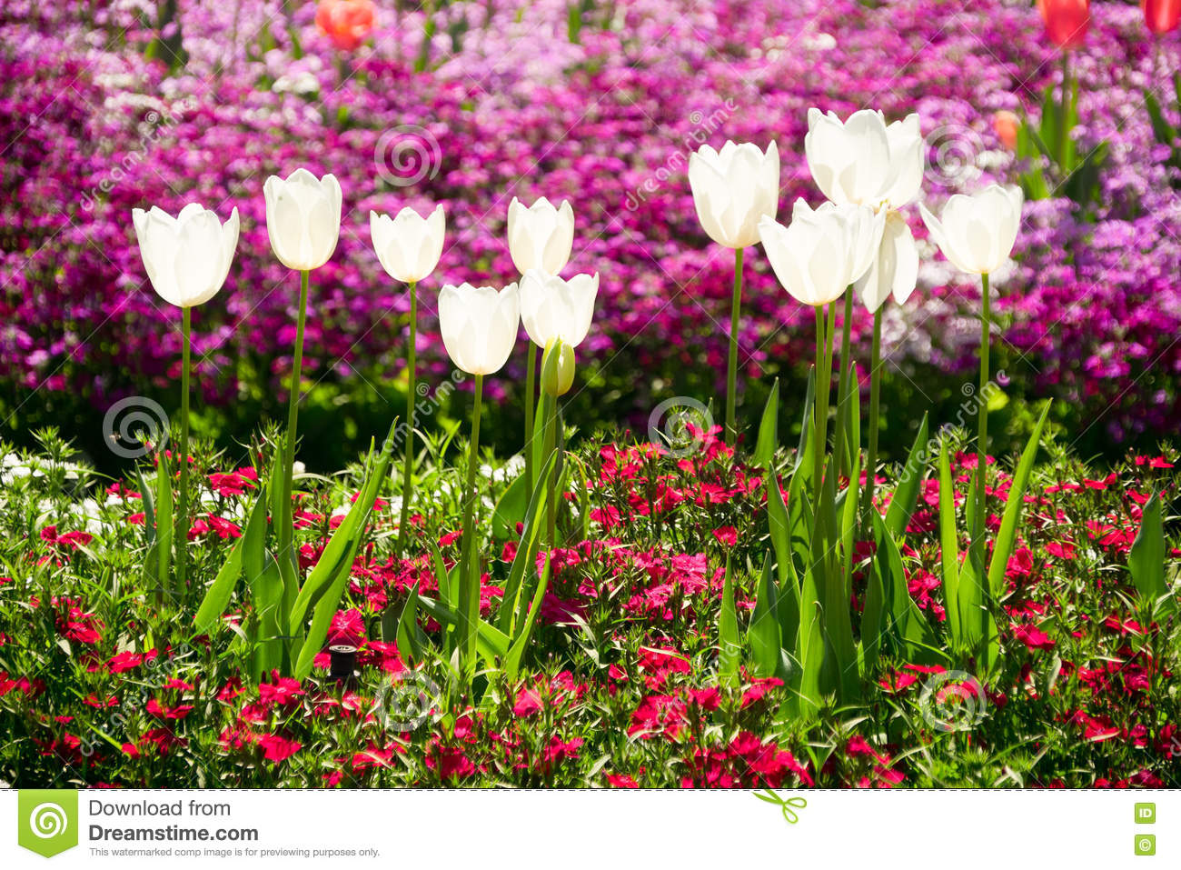 Toowoomba flower festival tulip flowers stock image image of beautiful white tulips on display at the 2016 toowoomba flower festival in toowoomba in queensland in australia this is an annual festival displaying izmirmasajfo