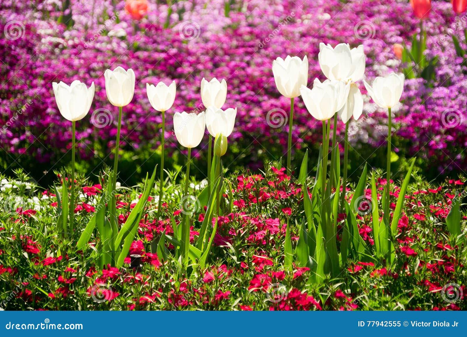 Toowoomba Flower Festival Tulip Flowers Stock Image Image Of