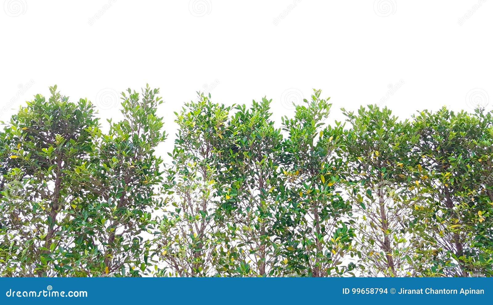 Top del árbol bayan con efectuado de luz del sol
