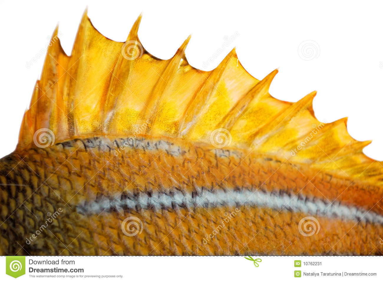 the top fin of a fish stock image image 10762231 Crown of Thorns Drawing Tribal Thorns Vector