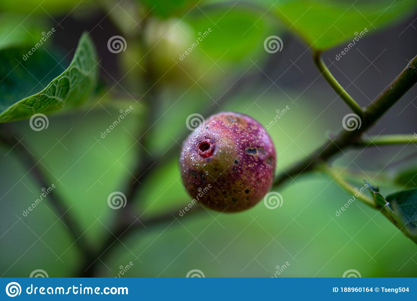 Banyan Milk At The Top Of The Mountain Turns Into Beautiful Fruit Editorial Stock Image Image Of Green Raquo 188960164