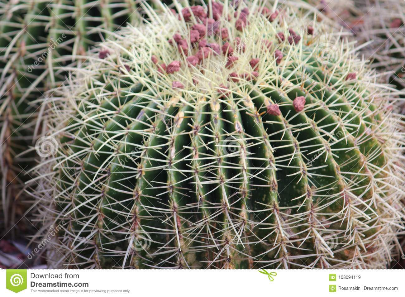 The top round barrel cactus wit red gravel close up