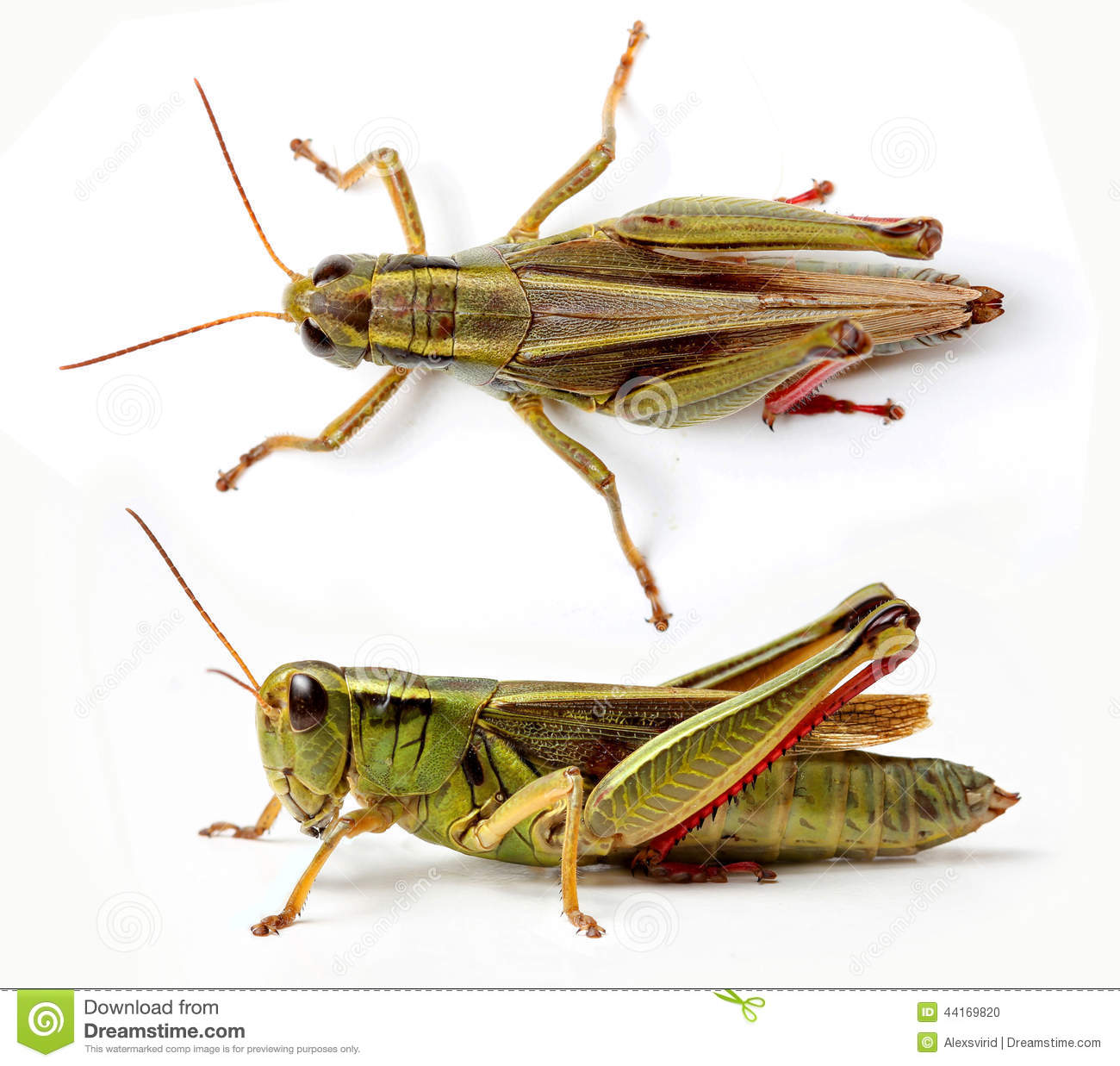 Top and side view of grasshopper stock photo image 44169820