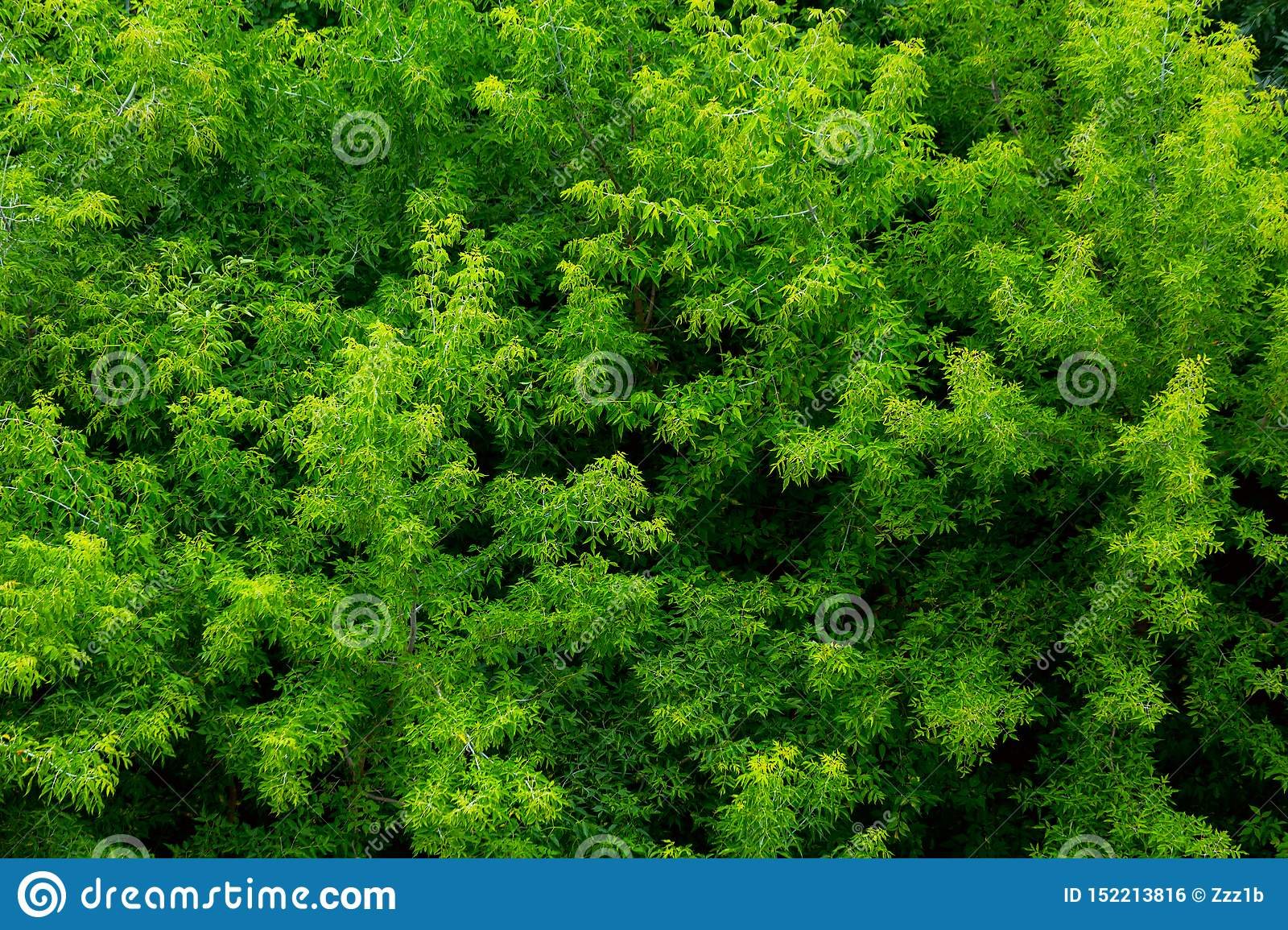 Top of summer green ash-tree forest solid foliage pattern background
