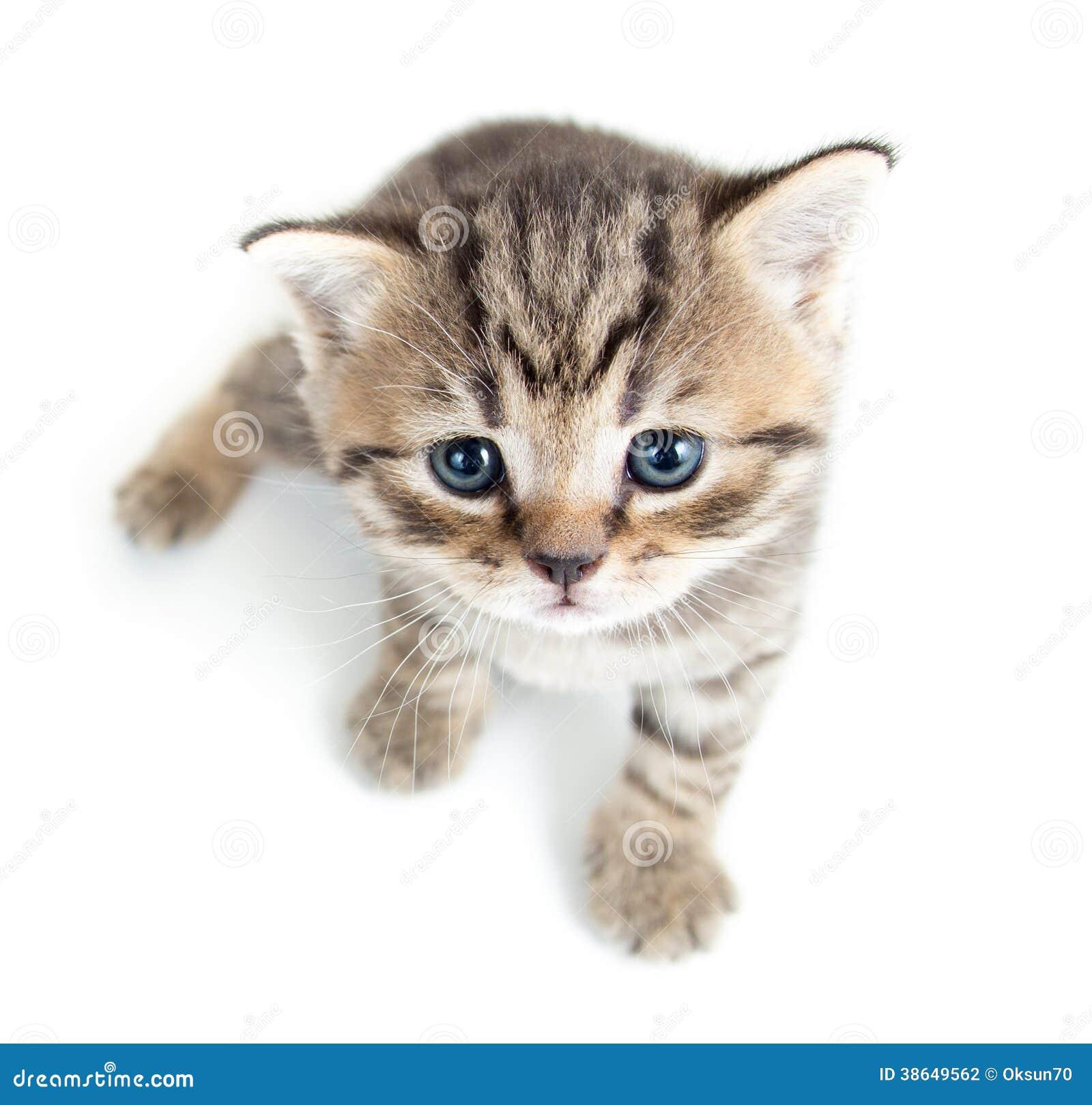 Top View Of Baby Cat Kitten Stock Photo Image Of Pedigree Beautiful 38649562