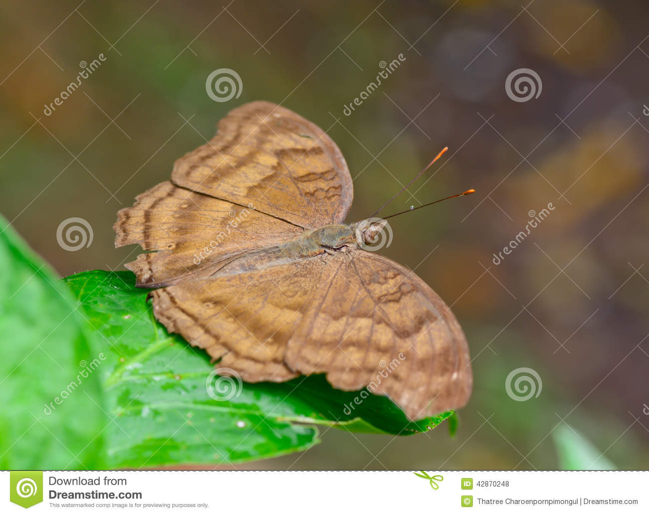 Top view brown butterfly with one waterdorp on galore