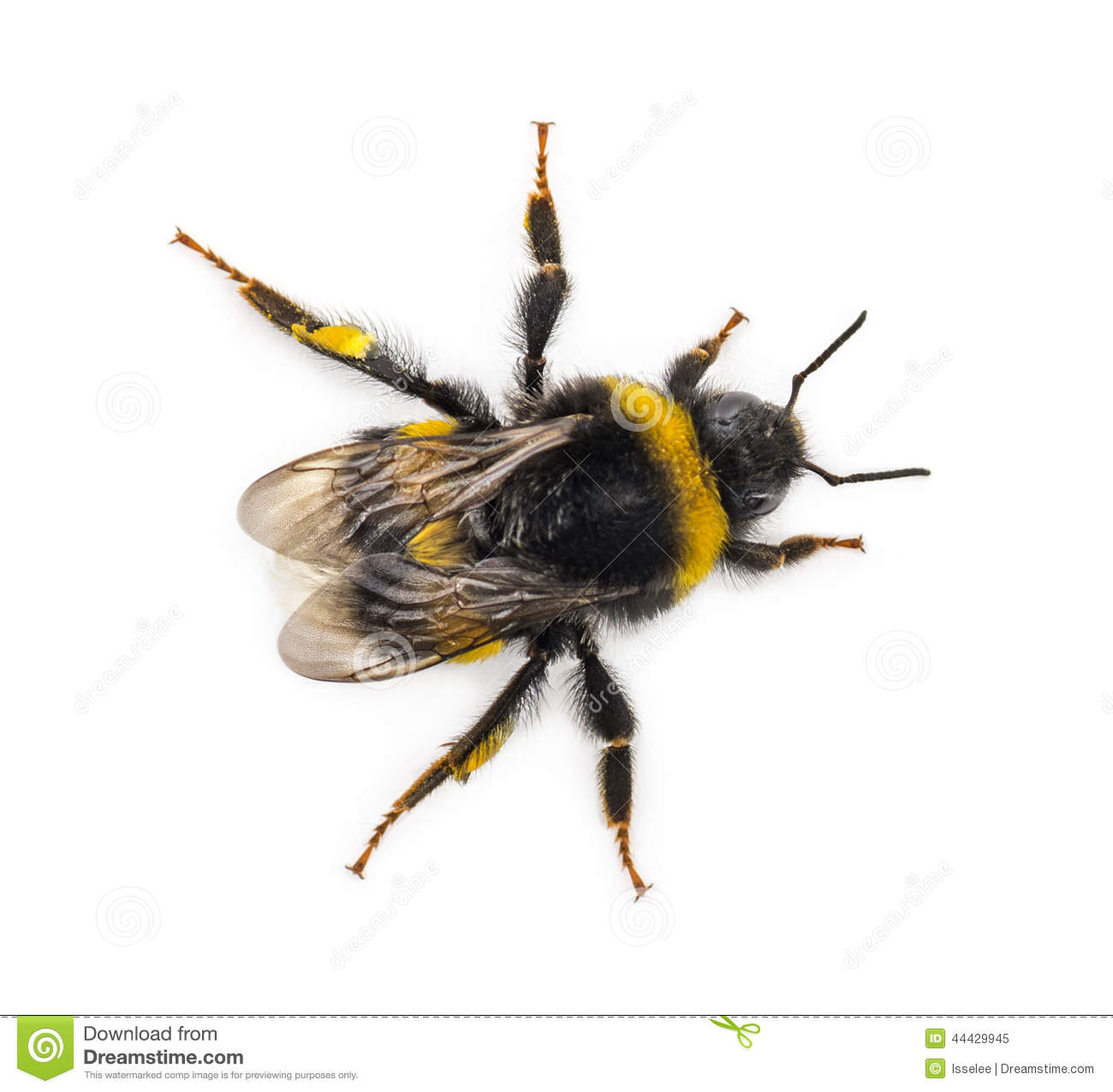 top view of a bumblebee stock photo image 44429945