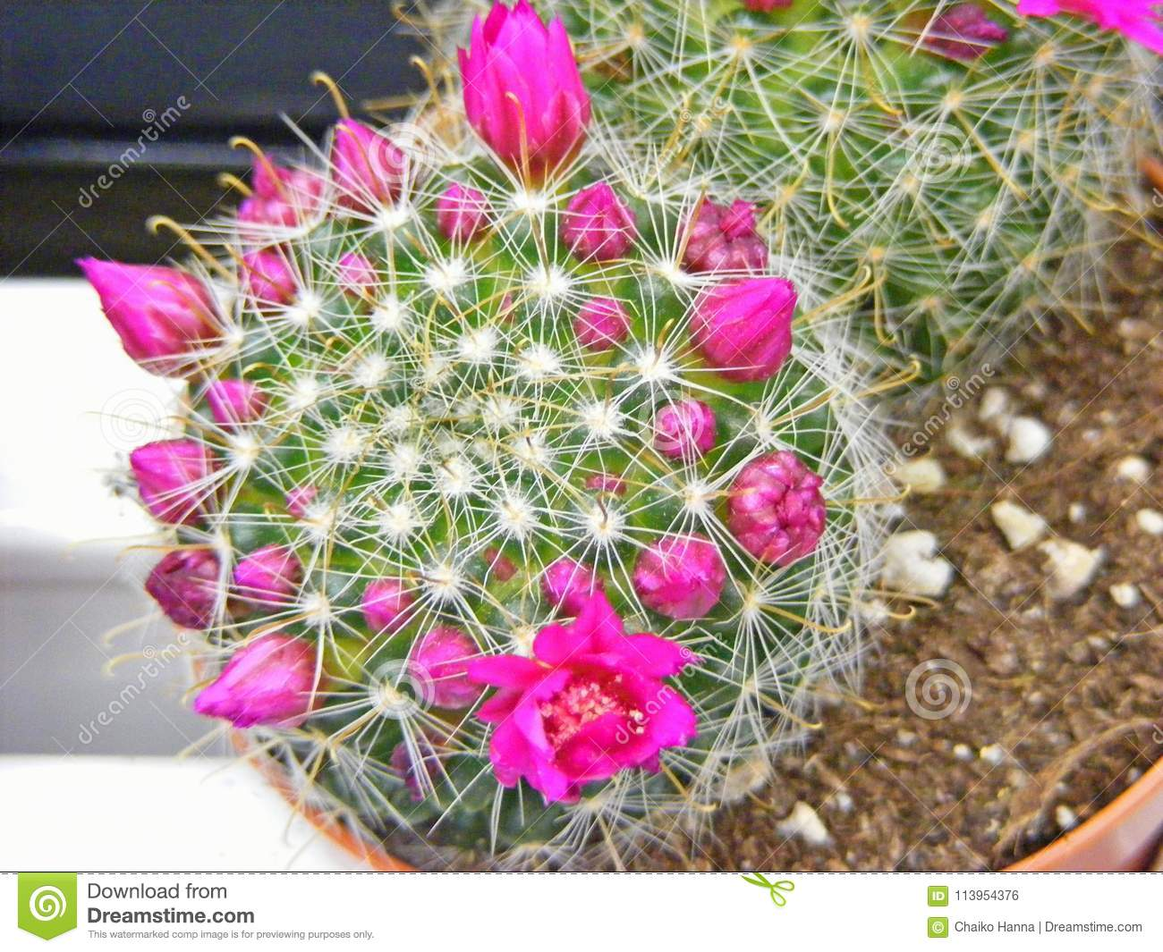 Top View Of Cactus Pink Flowers In Pot Stock Photo Image Of Tender