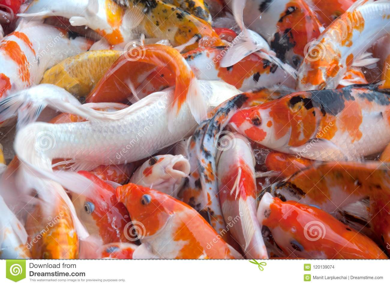 Top View Of Colorful Fancy Koi Carp Fish Symbols Of Good Luck Stock ...