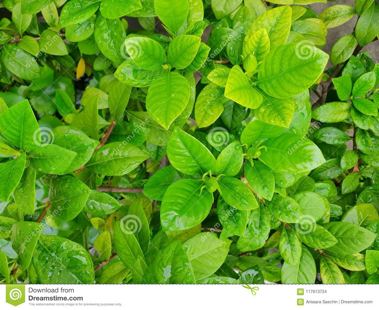 Top View Of Drops With Branch And Leaves Jasmine Flower As A