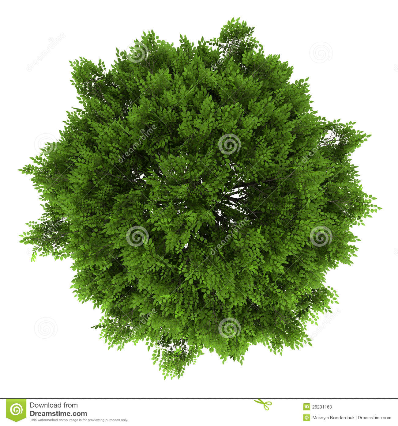 Top View Of European Ash Tree Isolated On White Royalty