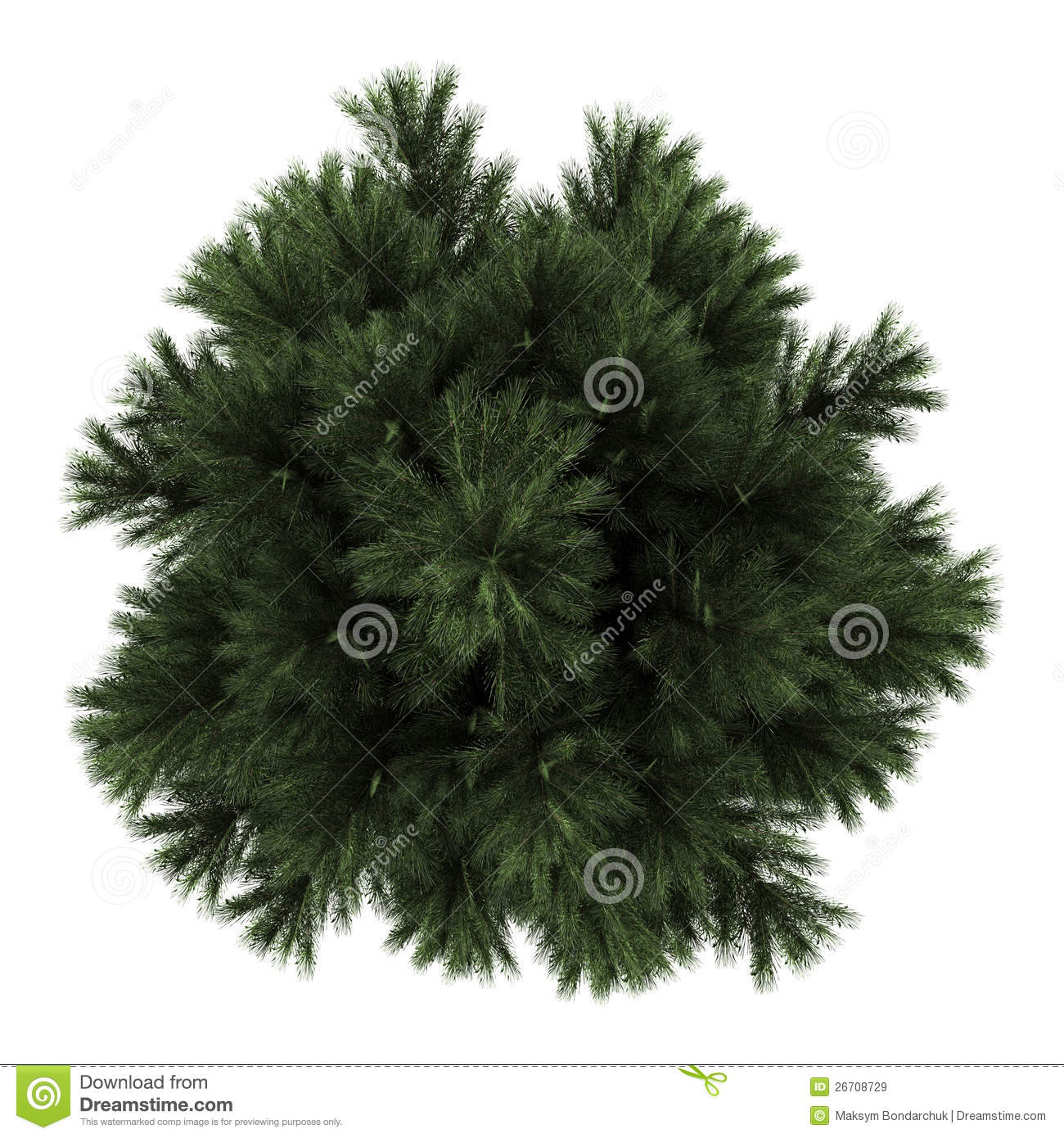 Top View Of European Black Pine Tree Isolated Royalty Free