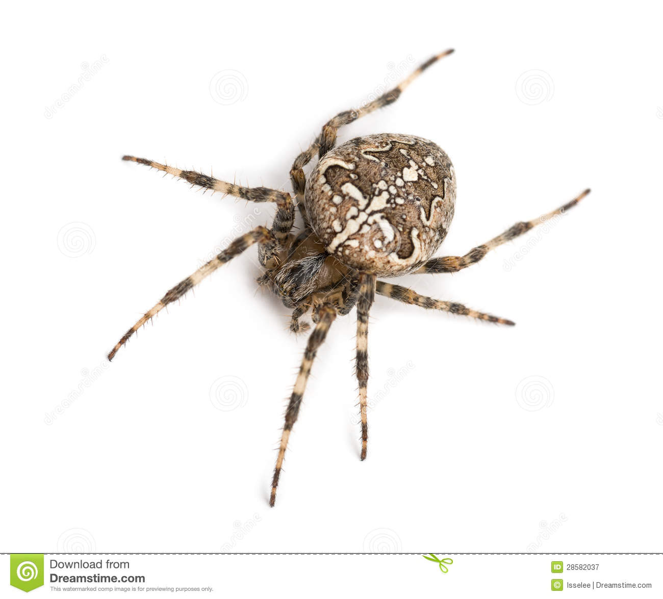Top View Of An European Garden Spider Royalty Free Stock Photography ...