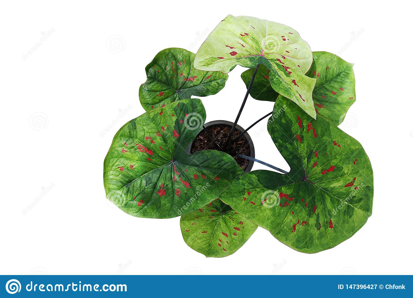 Top View Of Fancy Leaf Caladium Potted Plant Heart Shaped