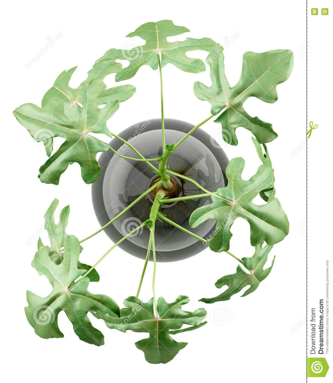 Top view of fig plant in glass vase isolated on white stock top view of fig plant in glass vase isolated on white reviewsmspy