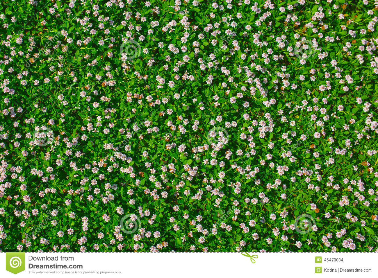 Top View Of Green Grass With Small White Flowers Stock Photo - Image ...