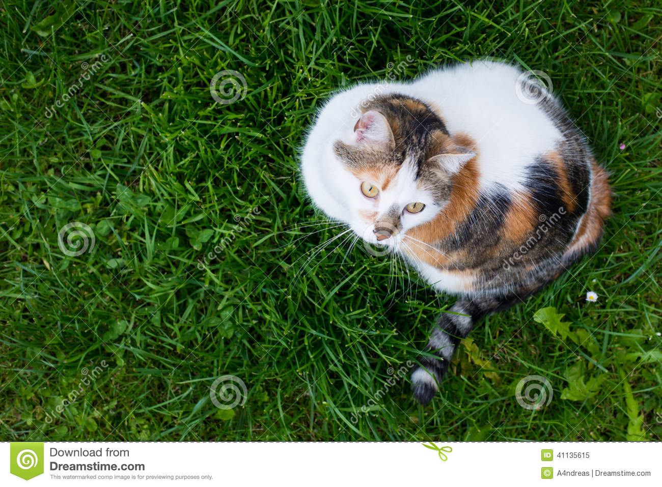 top view of house calico cat sitting in grass stock photo