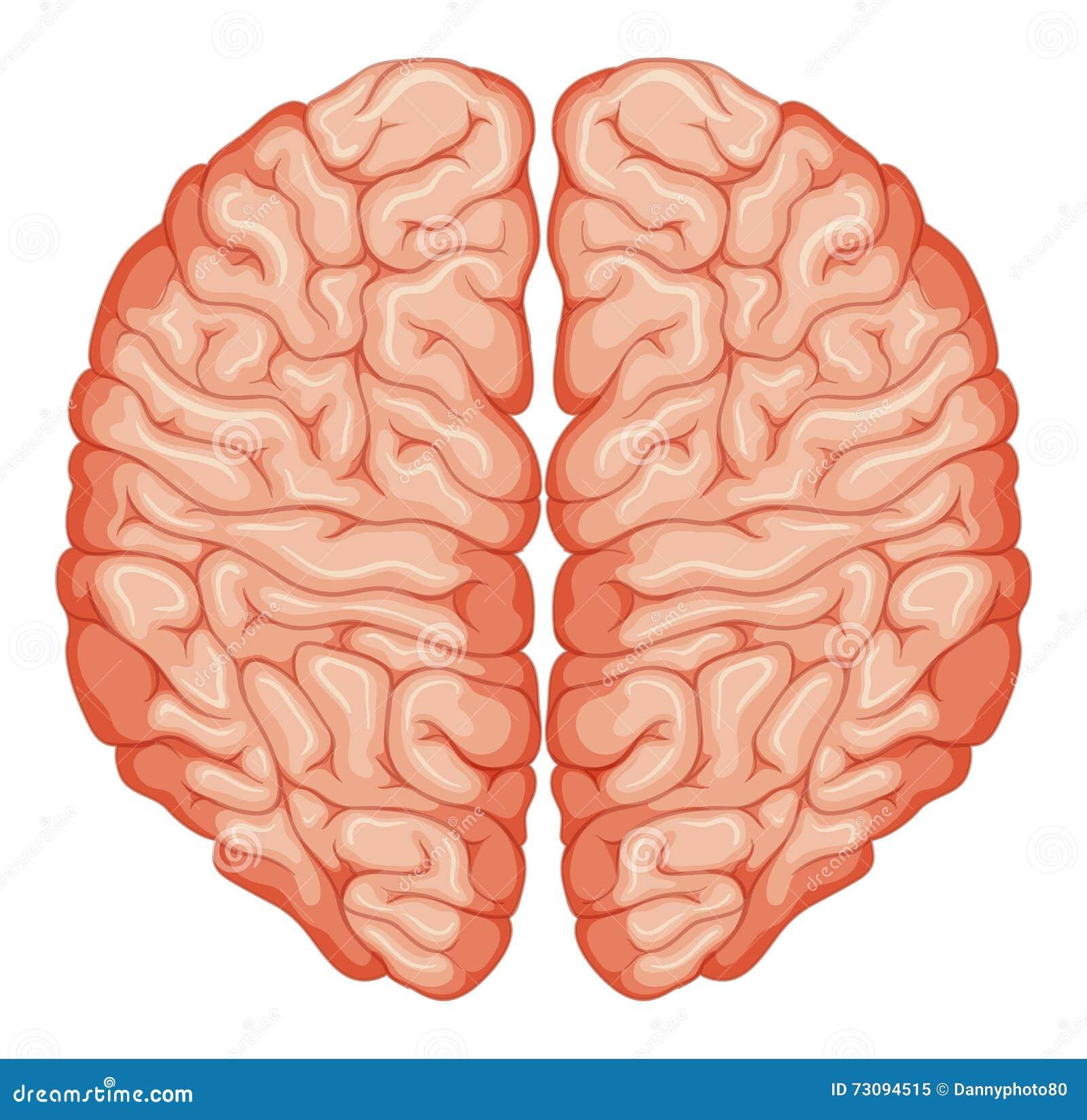 brain top view vector - photo #15