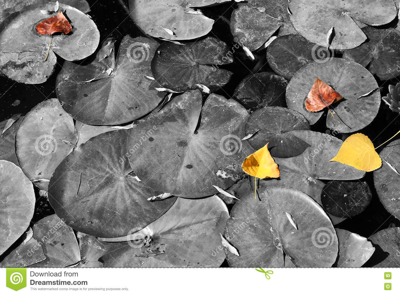 Top view image of fall leafs at pond , selective color