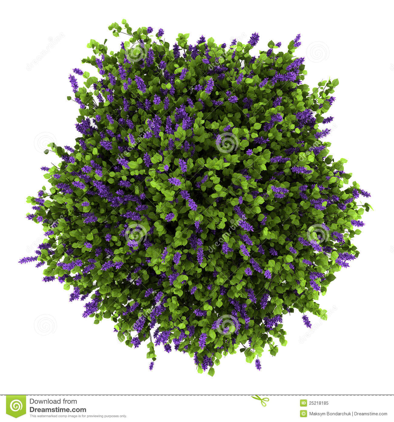 Top View Of Lilac Flowers Bush Isolated On White Stock