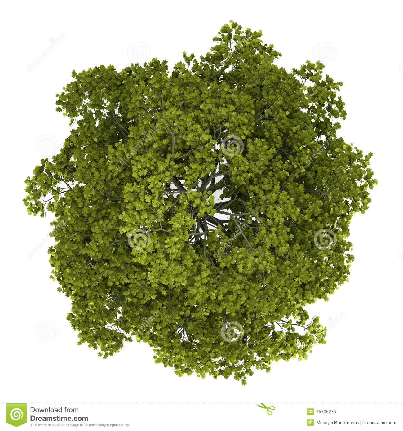 Top View Of Norway Maple Tree Isolated On White Stock Illustration