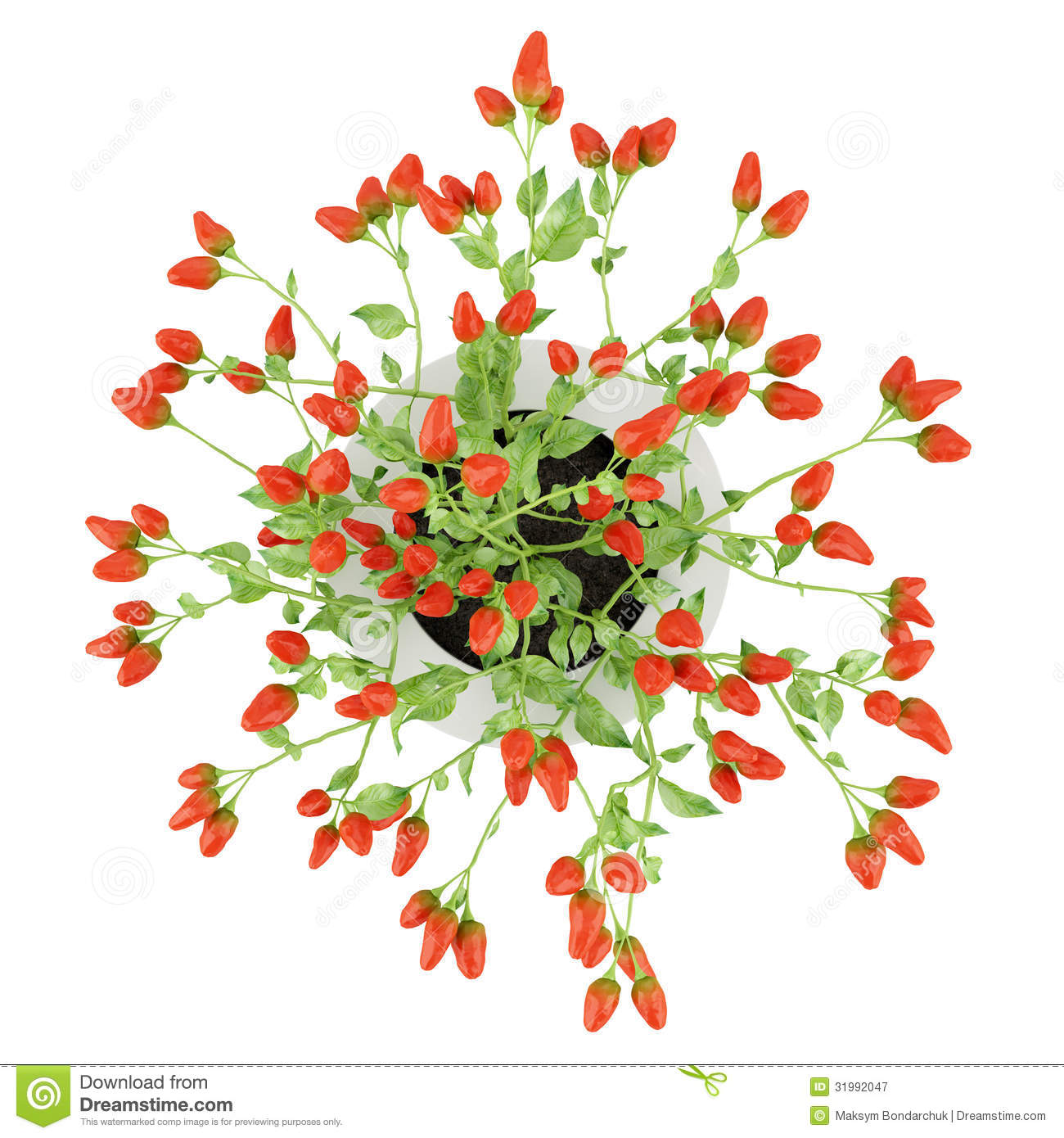 Top View Of Paprika Plant In Pot Isolated On White