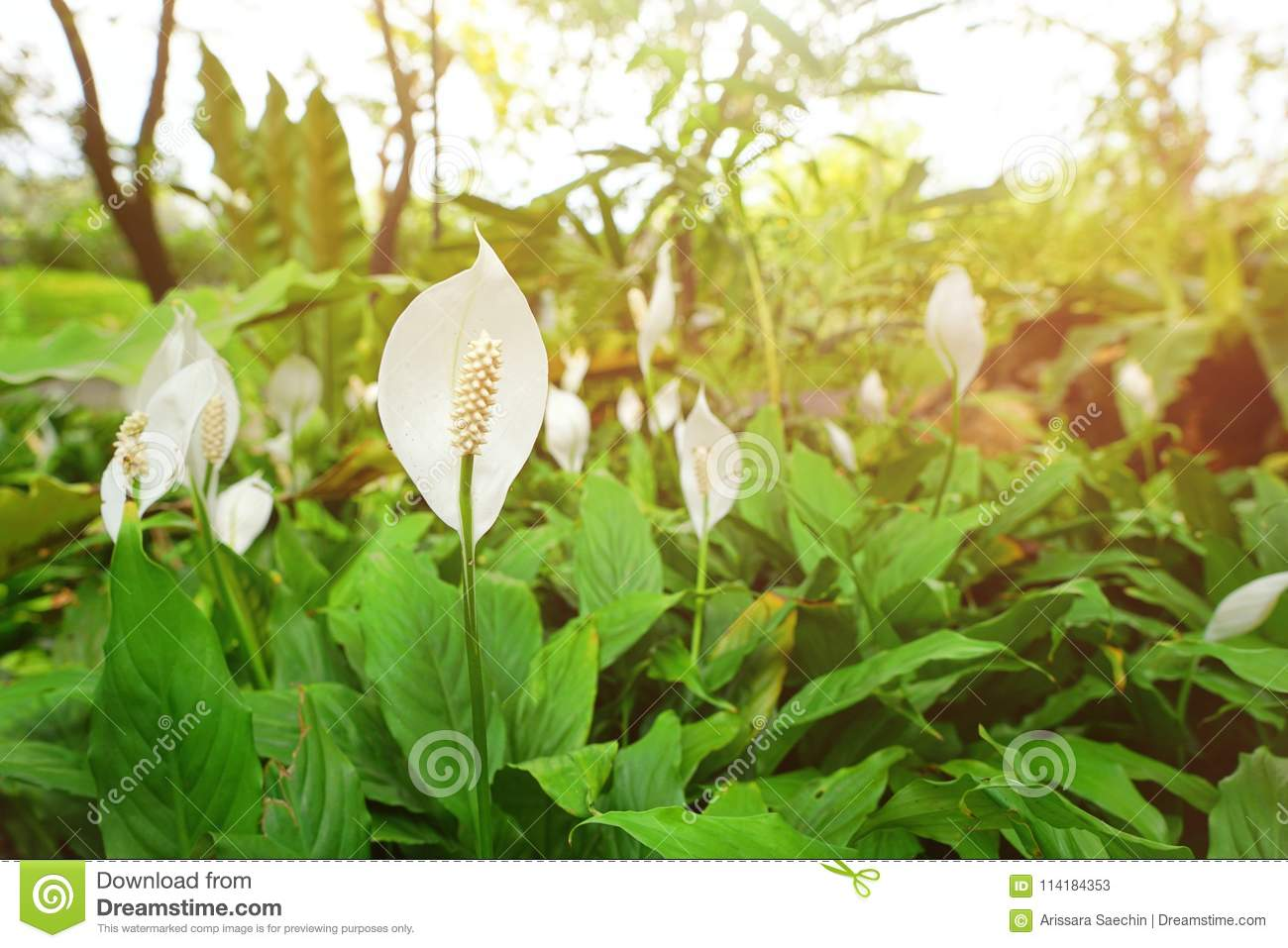 Top view peace lily flower as a background white flowers on green download comp izmirmasajfo
