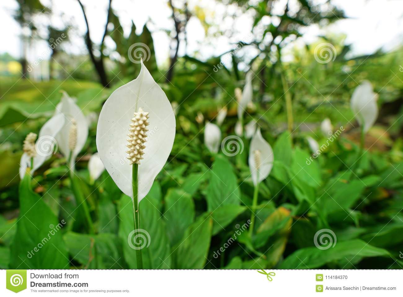 Top View Peace Lily Flower As A Background White Flowers On Green