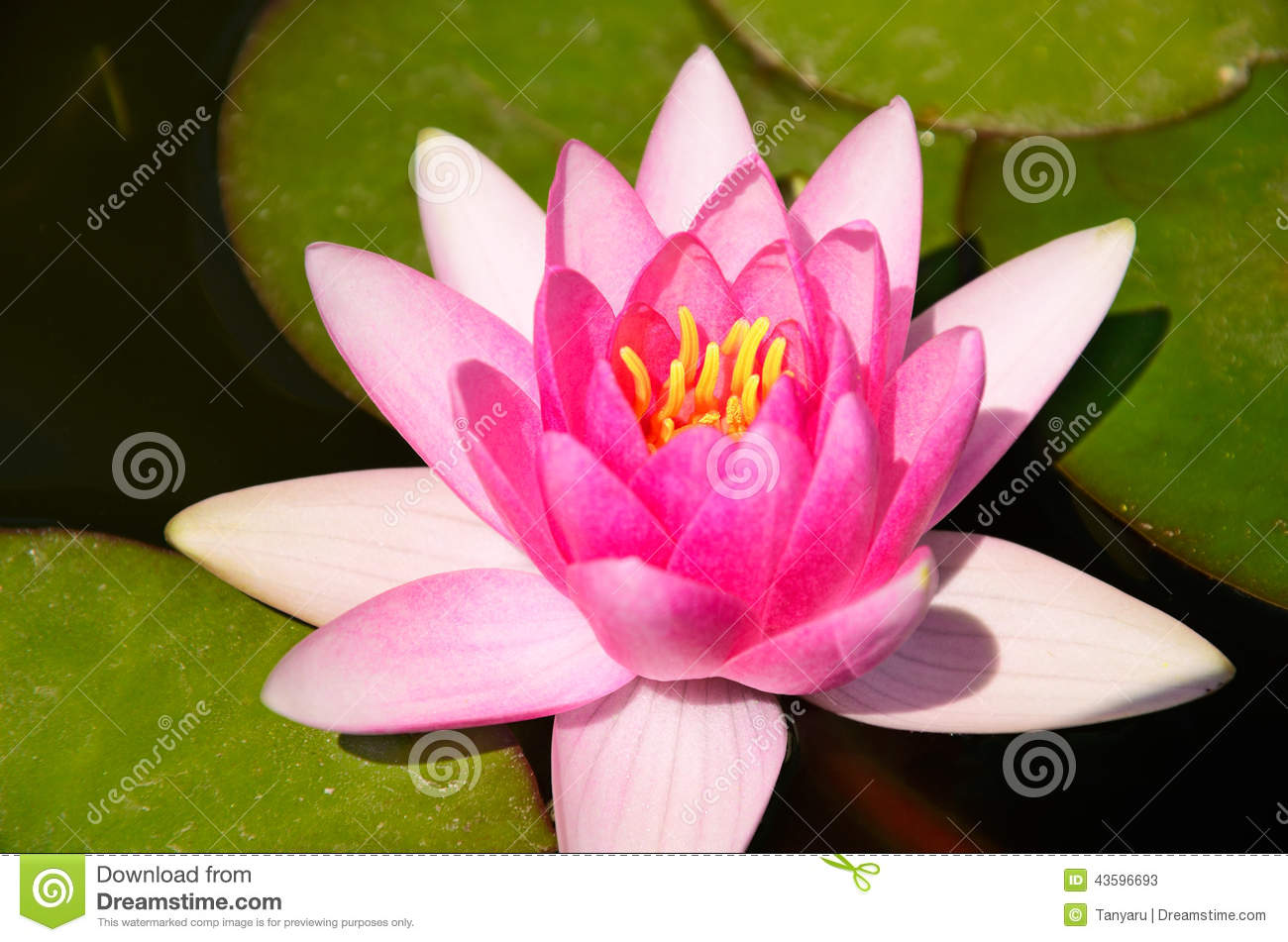 Top view pink lotus flower leaves pond stock images 127 photos izmirmasajfo