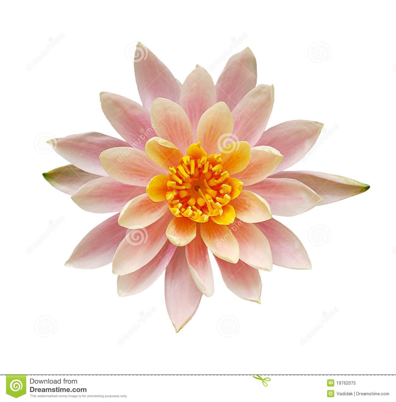 Top view of pink water lily flower stock image image of outdoor top view of pink water lily flower royalty free stock photo izmirmasajfo