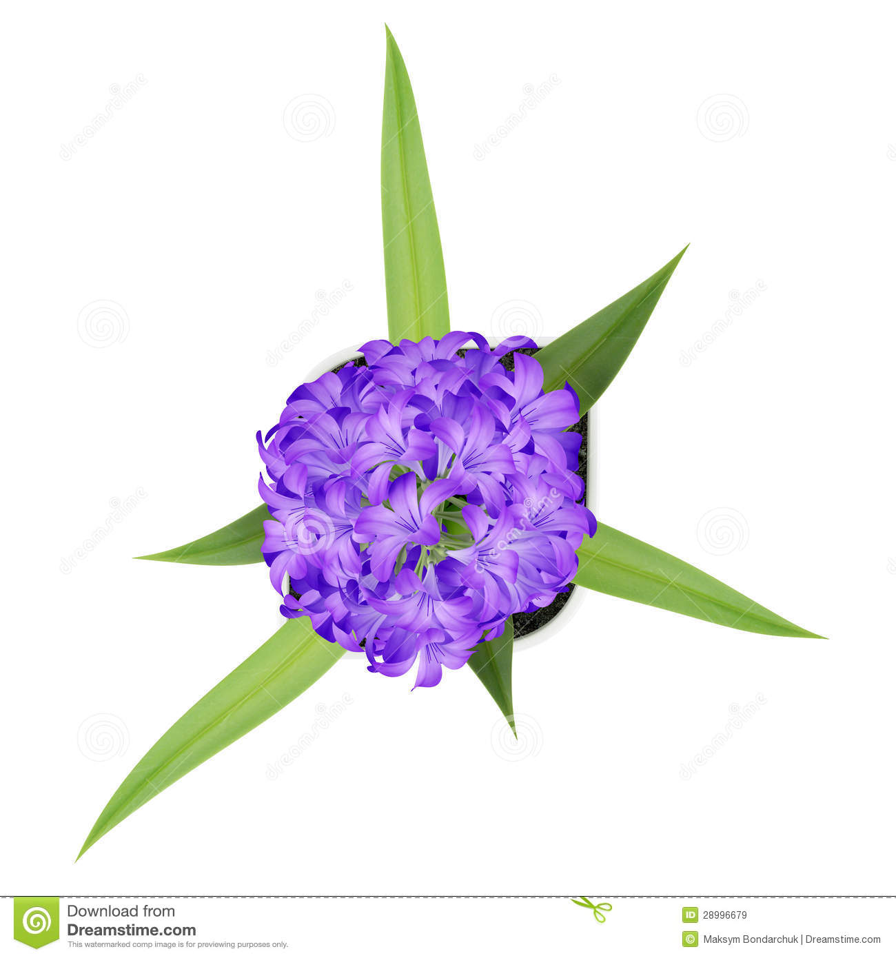 Top View Of Purple Flower In Pot Isolated On White Stock ...