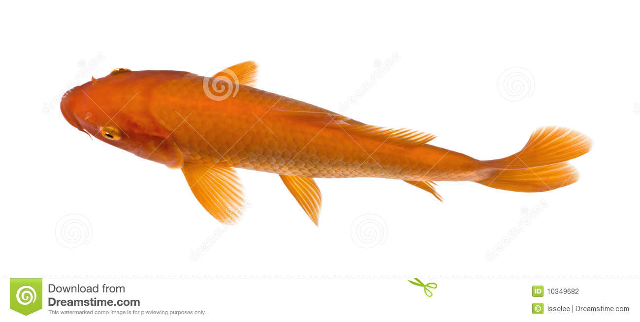 Top view of a red fish orange koi stock photo image of for Orange coy fish